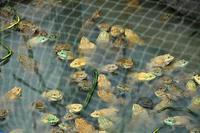 กบกระชัง เลี้ยงกบในกระชัง กบบ่อดิน เลี้ยงกบบ่อดิน ขายลูกกบ ขายลูกปลาดุก 0863146057 เกรียงไกร 0890852945 คุณเดือน