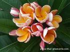 "Compact Plumeria ""PARAMINO"" grafted plant"