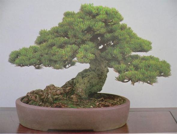 bonsaibaan 0211