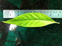 Effects of Pseuderanthemum palatiferum