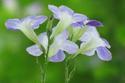 ดอกไม้เทศและดอกไม้ไทยต้น 33.บาหยา