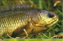 ปลาหมอชุมพร 1 ตัวโตราคางาม