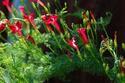 ดอกไม้เทศและดอกไม้ไทย ต้นที่4.คอนสวรรค์