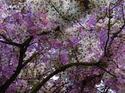 ดอกไม้เทศและดอกไม้ไทยต้น 30.เสลา