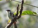 สัตว์โลกน่ารัก :นกปรอดหัวโขน  พบเห็นได้ง่ายๆ  โดยธงชัย เปาอินทร์ เรื่อง-ภาพ