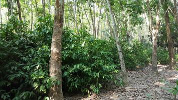 การปลูกผักเหลียงร่วมกับสวนยางพารา