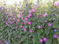 มาปลูกดอกผักบุ้งฝรั่งเป็นรั้วบ้านสวยๆกันดีกว่า