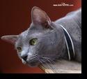 แมวโคราช แมวสีสวาด