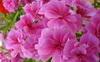 ขายหัวน้ำหอมกลิ่นจีเรเนียม ขายน้ำหอมกลิ่นจีเรเนียม Sell gerenium fragrance