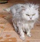 หางแมวบอกอารมณ์