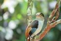 นกพญาปากกว้างอกสีเงิน  โดย ธงชัย เปาอินทร์ เรื่อง-ภาพ