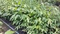ไม้ตะเคียนทอง: การเจริญเติบโตในแปลงปลูกป่า