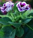 ดอกไท้เทศและดอกไม้ไทย  ต้น67.กล็อกซิเนีย