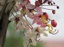 ดอกไม้เทศและดอกไม้ไทยต้น 28.กัลปพฤกษ์