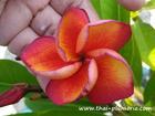"""Plumeria """"ORANGE FANTA"""" grafted plant"""