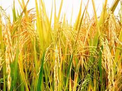 กลุ่มผู้ผลิตเมล็ดพันธุ์ข้าวคุณภาพ แรงขับเคลื่อนสำคัญในการเพิ่มผลผลิตข้าว