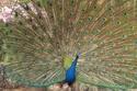 นกยูงอินเดีย