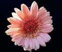 ดอกไม้เทศและดอกไม้ไทย ต้น 122  เยอร์บีรา