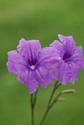 ดอกไม้เทศและดอกไม้ไทย  ต้น102.ต้อยติ่งฝรั่ง