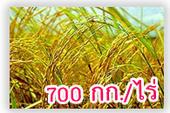 ปลูกข้าวหอมมะลิอย่างไร...ให้ได้ 700 กก.ต่อไร่