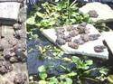 การเลี้ยงกบในบ่อพลาสติก