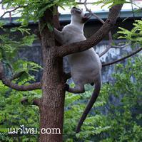 ที่มา แมวไทย.com