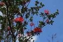 ดอกไม้เทศและดอกไม้ไทย ต้นที่ 2.กุหลาบแดง